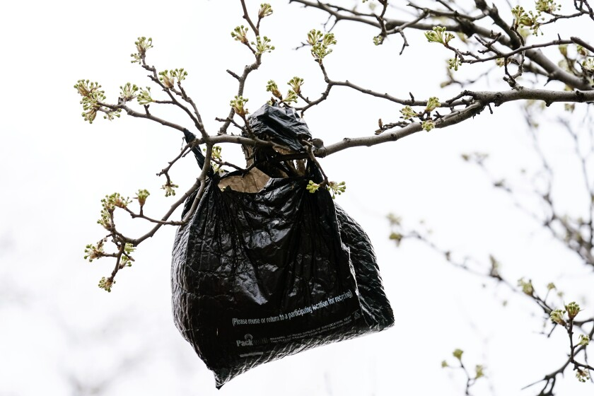A plastic bag hangs from a blossoming tree