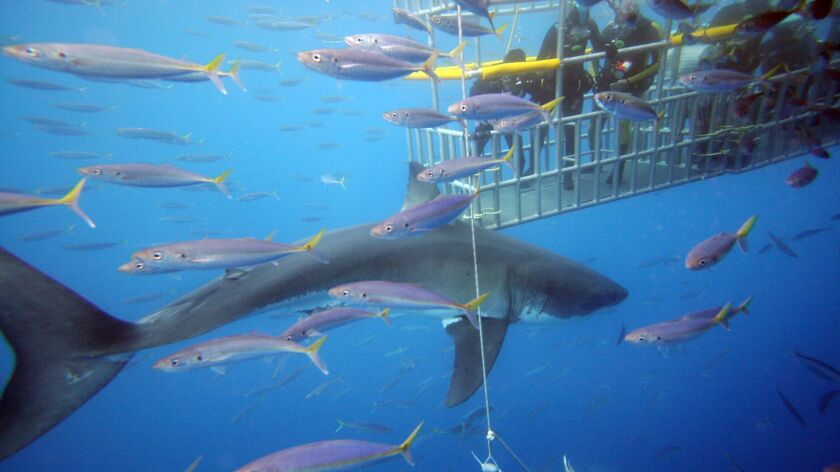 A great white shark photographed near a 22-mile-long volcanic land mass 150 miles west of Baja California.