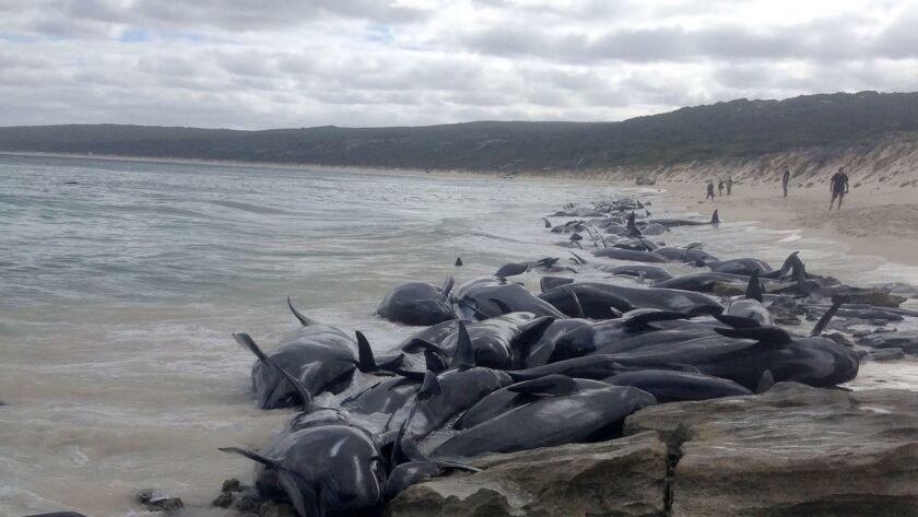 Short-finned pilot whales beached en masse in Hamelin Bay, Western Australia.
