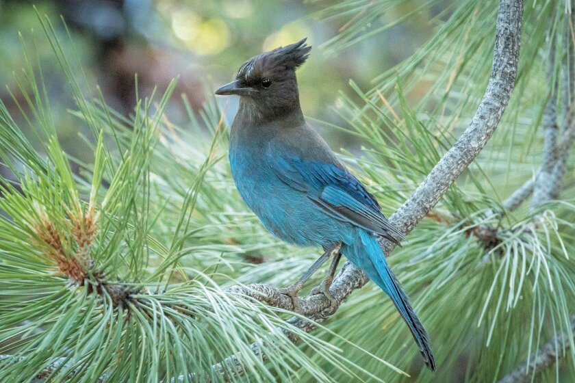 The Steller's jay is a common sight in the county's pine forests.