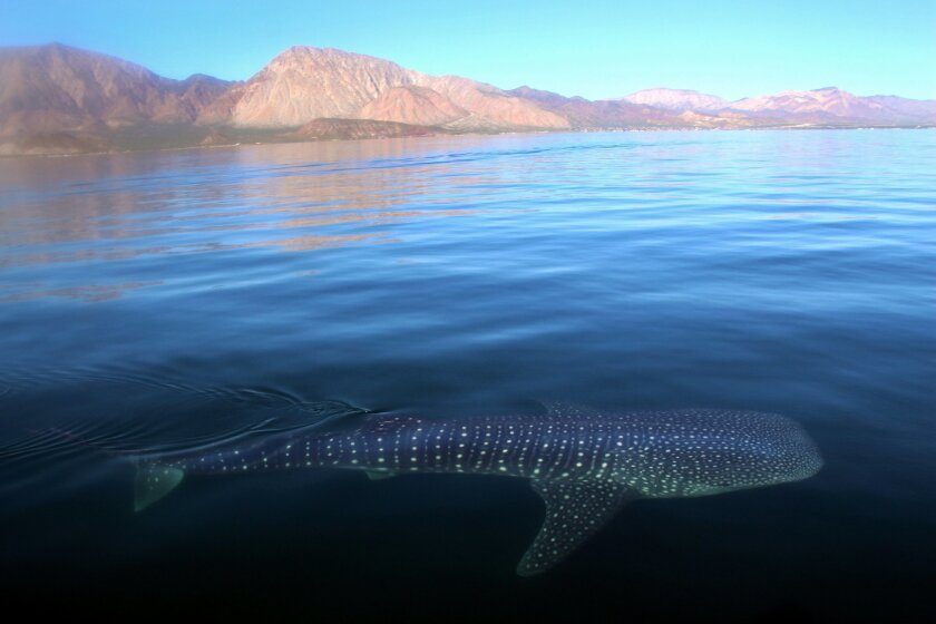 Golden Mountain provides the background as a whale shark cruises in the waters of Bahia de los Angeles.