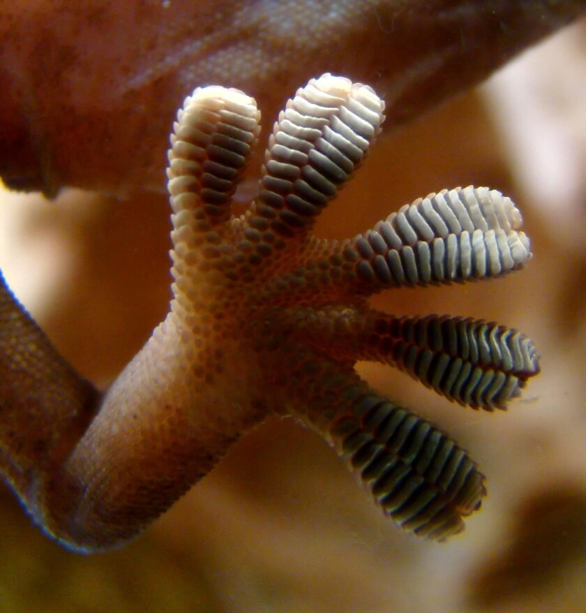 """New research finds geckos' feet are nonsticky by default, but they can activate """"stickiness"""" by applying a type of force."""