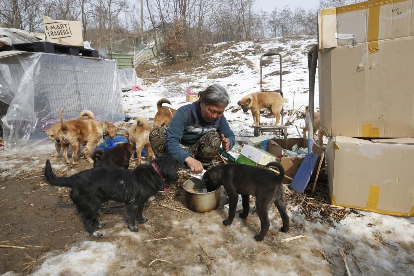 En esta foto, Jung Myoung Sook, de 61 años, quien ha rescatado y albergado perros durante 26 años, alimenta con leche de soya a sus perros en un albergue en Asan, Corea del Sur. En el país, donde los perros son considerados un manjar tradicional y apenas recientemente se han convertido populares como mascostas, el amor de Jung por sus amigos caninos es visto como algo extraño, aunque otros la ven como una campeona de la defensa de los derechos animales. (Foto AP/Lee Jin-man)
