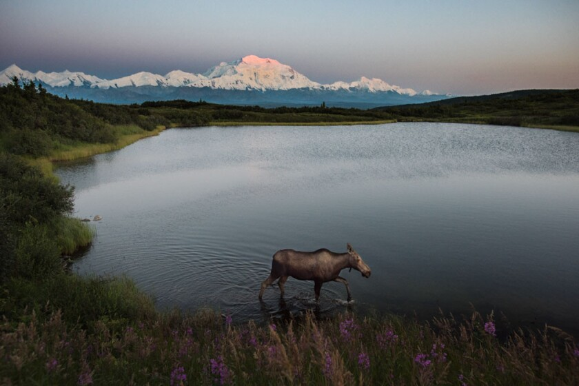 A moose walks in Reflection Pond at Denali National Park and Preserve in Alaska. Denali (the former Mt. McKinley) is in the background.