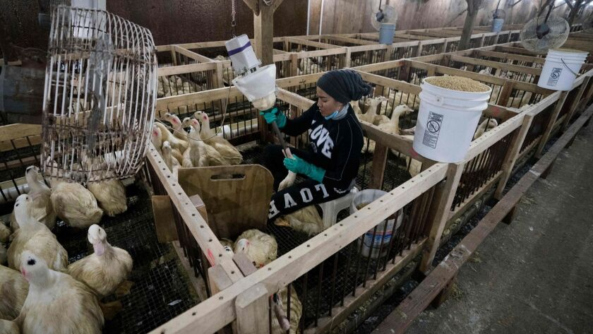 An employee feeds a duck at Hudson Valley Duck Farm in Ferndale, N.Y. The U.S. Supreme Court upheld California's foie gras ban, ending a long legal battle between animal rights activists and defenders of the delicacy.