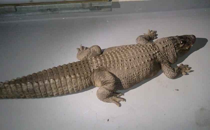 An alligator found in San Fernando Valley backyard had lived there for 37 years.