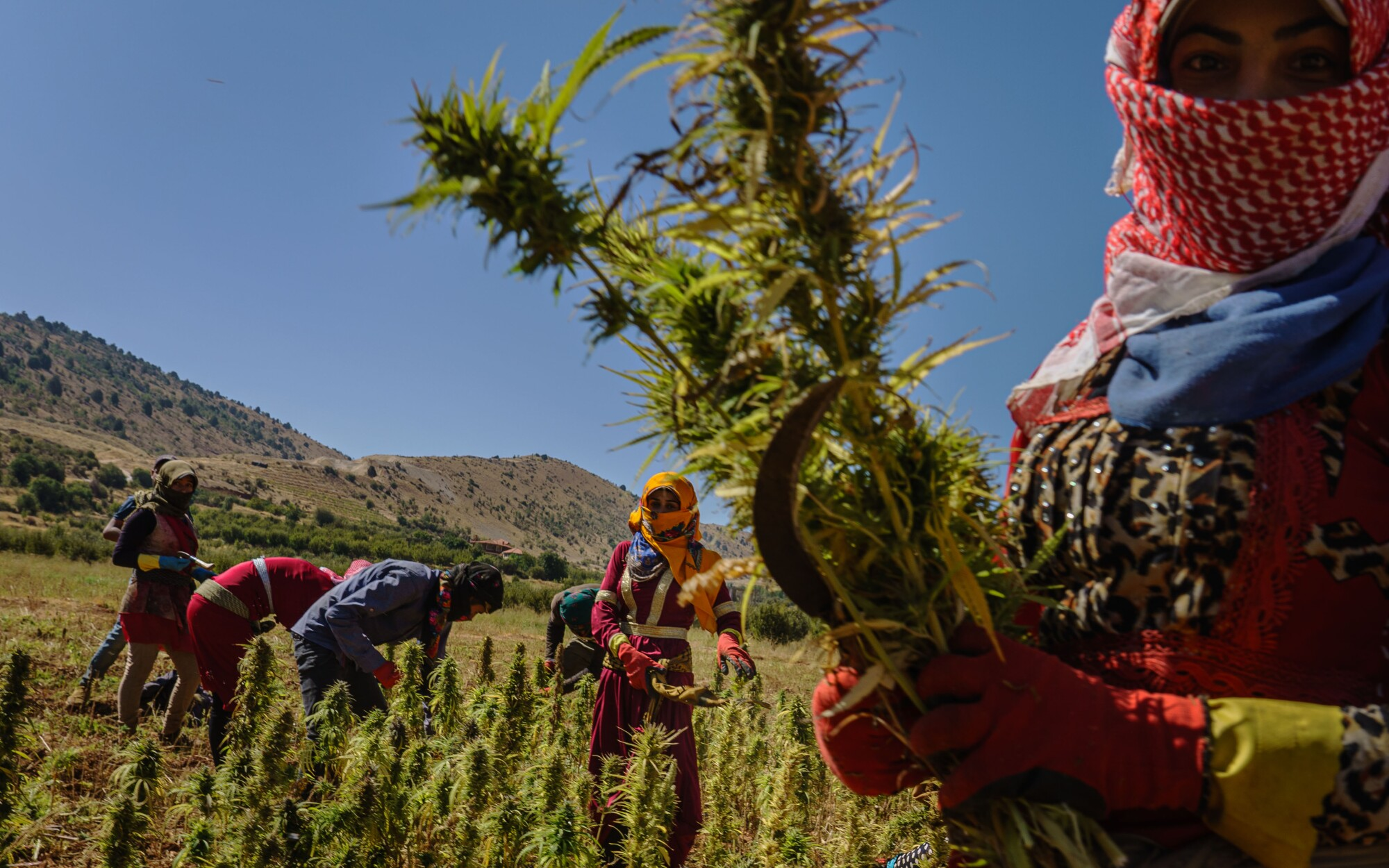 Armed with sickles, farmworkers harvest cannabis in Yammouneh, Lebanon.