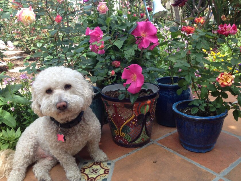 Rita Perwich's pooch, Bowser, sits next to an array of container-grown roses.