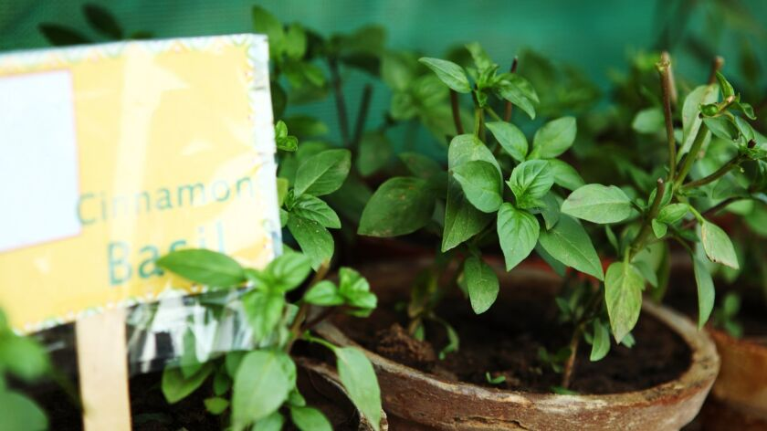Cinnamon Basil Planted in Pots on Shelve, Terrace Garden