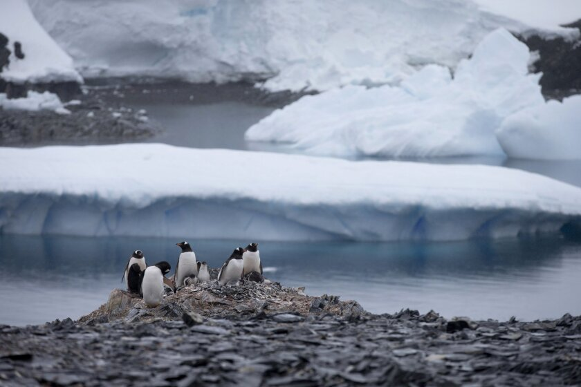 FILE - In this Jan. 22, 2015 file photo, Gentoo penguins stand on rocks near the Chilean station Bernardo O'Higgins, Antarctica. A scientific study released in Feb. 2016 says an estimated 150,000 Adelie penguins have died in Cape Denison, Antarctica in the five years since a giant iceberg blocked t