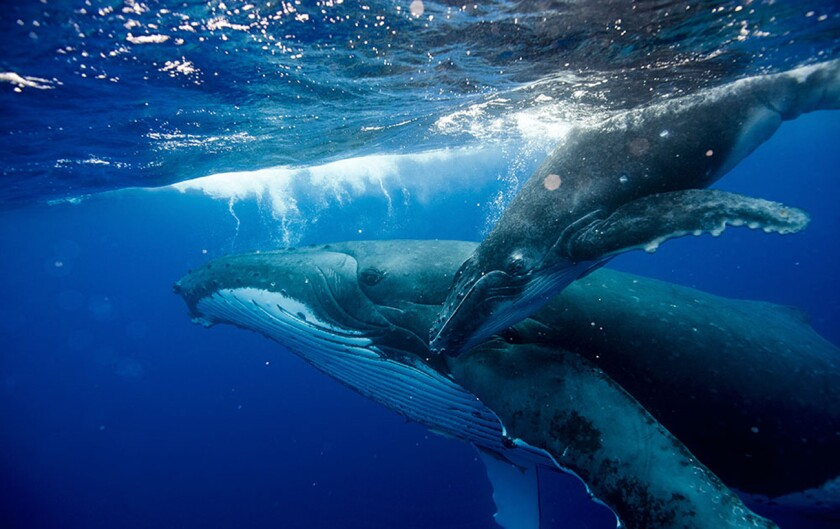 """Humpback whales are expected to join the show when the PBS event """"Big Blue Live,"""" a festival of marine life, airs live for three nights from the Monterey Bay National Marine Sanctuary."""