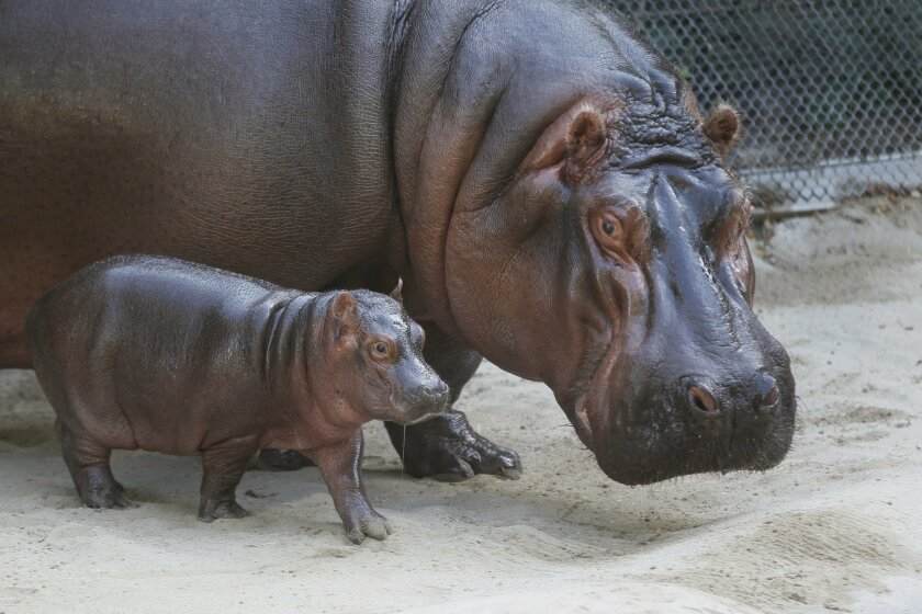 """The San Diego Zoo and Safari Park is teeming with baby animals this time of year, including the new as yet un-named three week-old baby river hippo and it's mom """"Funani."""""""