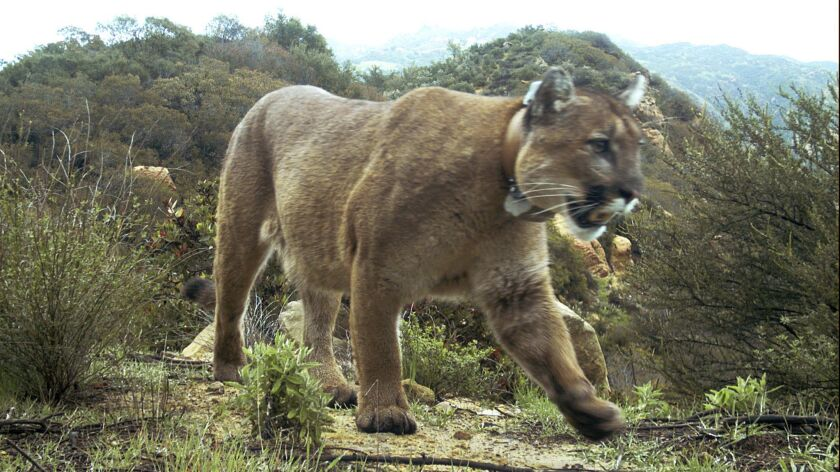 A mountain lion in the Santa Monica Mountains National Recreation Area west of Los Angeles on Feb. 14.
