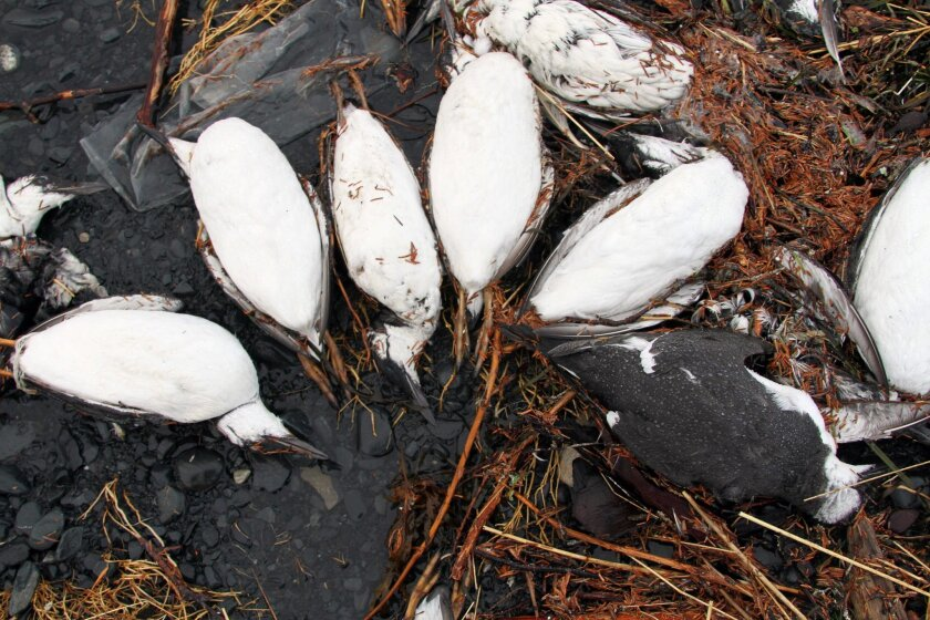 FILE - In this Jan. 7, 2016, photo, dead common murres lie on a rocky beach in Whittier, Alaska. Federal scientists in Alaska are looking for the cause of a massive die-off of one of the Arctic's most abundant seabirds, the common murre. Federal biologists last week walked more than a dozen ocean beaches along Katmai National Park and counted at least 2,000 dead seabirds. (AP Photo/Mark Thiessen, File)