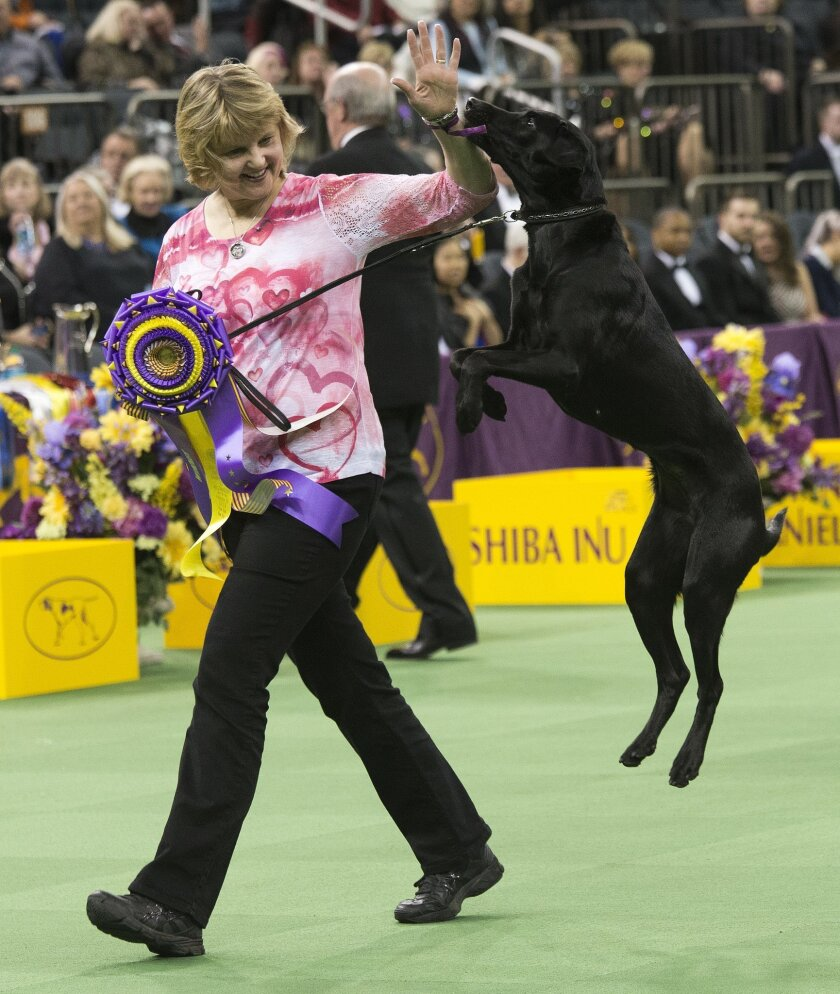 Heart, a Labrador, and her owner/handler, Linday Brennan, of Columbia, N.J., walk off the main ring after picking up her trophy for winning the obedience portion of the 140th Westminster Kennel Club dog show, Monday, Feb. 15, 2016, at Madison Square Garden in New York. (AP Photo/Mary Altaffer)