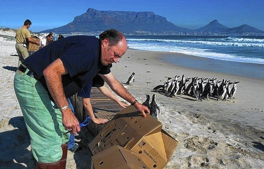 In 2000, International Bird Rescue executive director Jay Holcomb led an effort to save more than 20,000 oiled African penguins caught in the Treasure Spill near Cape Town, South Africa.