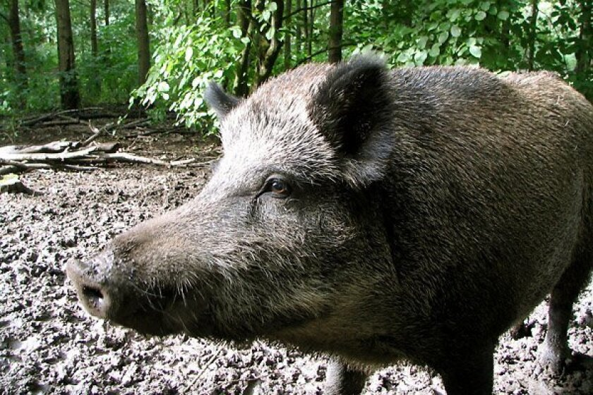 A study found that the rooting behavior of feral pigs in California reduces the number and size of oak tree seedlings.
