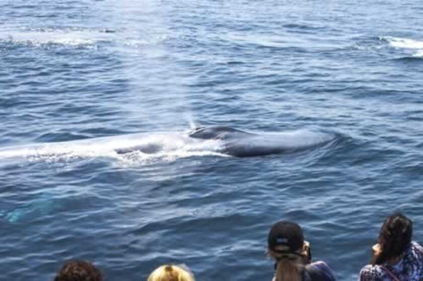 Thar she blows! On an Aquarium of the Pacific Sea Life Cruise in Long Beach, whale-watchers thrill to the sight of a baby blue whale following its mother. PHOTOS by Maurice Hewitt
