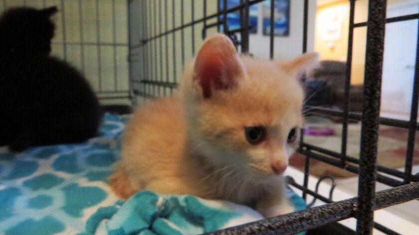 Tigger, a 5-week-old kitten in Love Your Feral Felines' new Under-Socialized Kitten Foster Program,