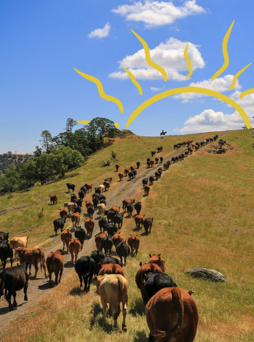 The view from the back of a horse, driving the cattle uphill to greener pastures for grazing at the V6 Ranch.