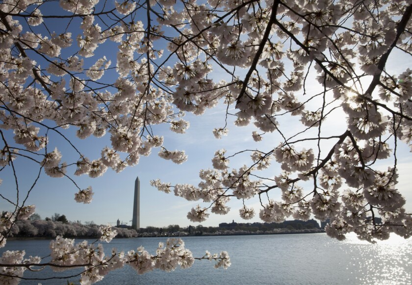 The Washington Monument, seen here through a veil of spring cherry blossoms, stands near the Tidal Basin in Washington, D.C.