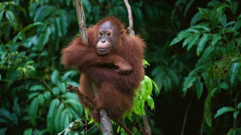 Participants can expect to see wildlife, such as this young orangutan, on a comprehensive tour of Borneo.