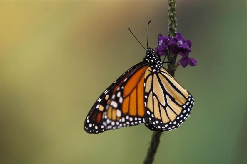 Vista de una mariposa Monarca durante la inauguración del mes de las mariposas Monarca hoy, martes 10 de abril de 2018, en el Mariposario del Zoológico de Chapultepec en Ciudad de México (México). EFE