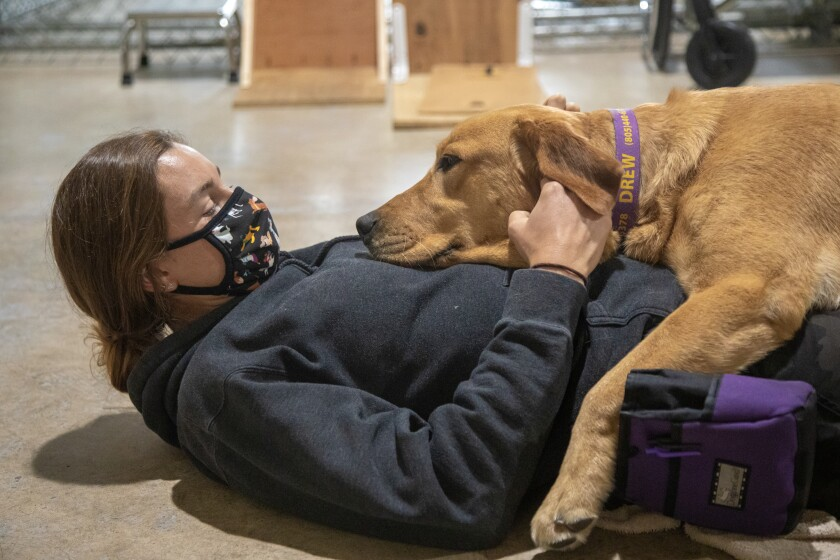 Drew, a yellow Labrador, demonstrates how he would comfort a military veteran having night terrors.