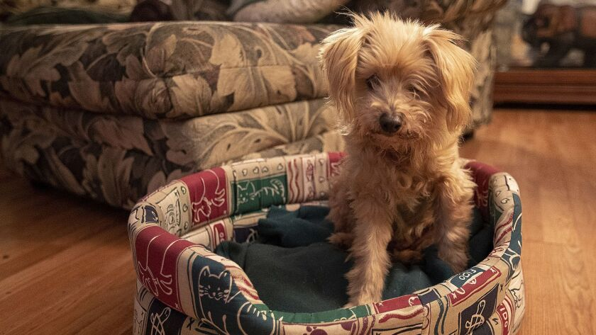 Buddy, a 14-year-old blind dog sits in his bed on Thursday, November 29. Paul Hoffman has taken in B