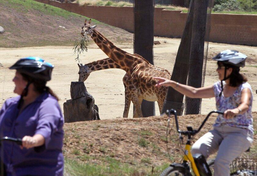 On a San Diego Zoo Safari Park's Trike Safari excursion the group passes by some giraffes.