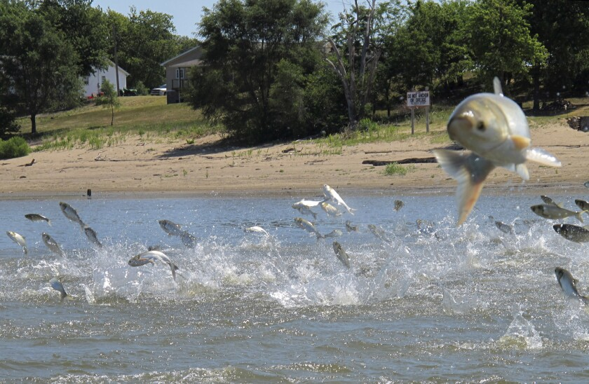 Asian carp, jolted by an electric current from a research boat, leap from the Illinois River. An effort is underway to reintroduce alligator gar in several states to control the carp.