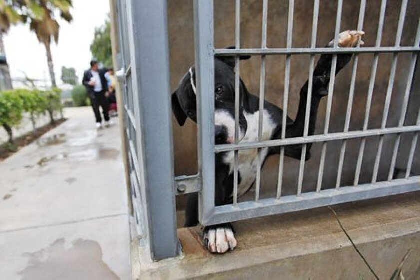 A 9-month-old male pit bull, which was picked up as a stray, was at the Chula Vista Animal Care Facility yesterday. Two internal reports have been critical of the facility's care of animals. (John R. McCutchen /  Union-Tribune)