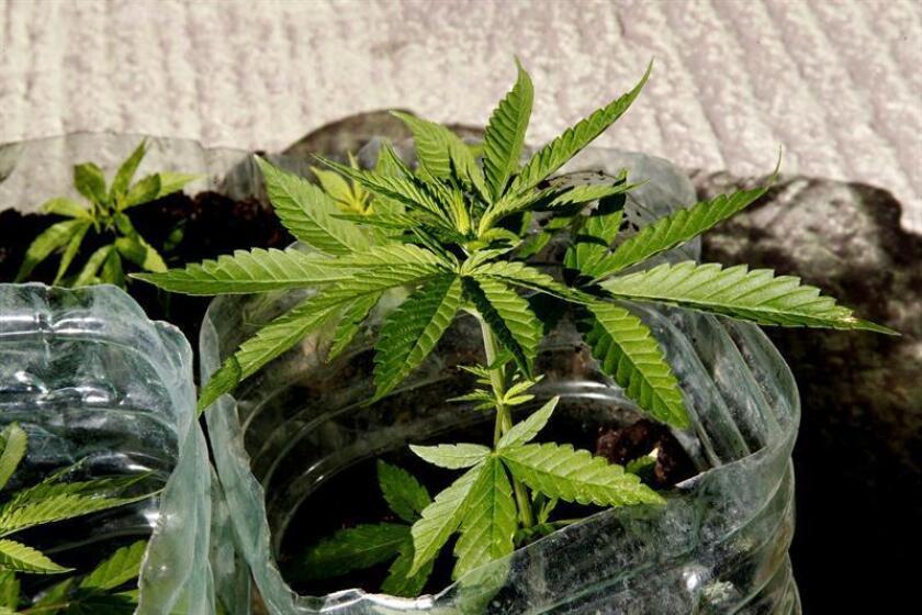 Detalle de una planta de marihuana. EFE/Archivo