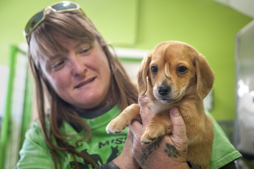 """Mac's Mission animal rescue founder Rochelle Steffen holds a 10-week-old golden retriever puppy with a small tail growing between his eyes, dubbed """"Narwhal,"""" Wednesday, Nov. 13, 2019, in Jackson, Mo. The puppy's condition has led to widespread online notoriety and, Steffen said, a flood of adoption offers. (Tyler Graef/The Southeast Missourian via AP)"""