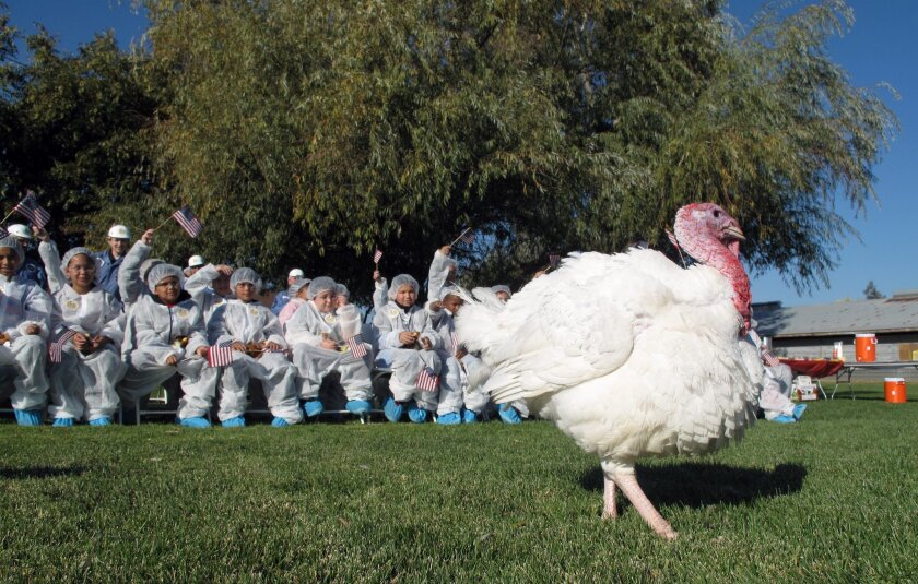 This picture taken Nov. 19, 2015, in Modesto, Calif., shows a turkey selected for a pardon from the Thanksgiving dinner table by President Obama. A class of fifth grade students from nearby Eisenhut Elementary School cheered for their favorite as Foster Farms staffers picked the prized bird. The lucky turkey was selected on Thursday for a trip to the White House, where President Obama will pardon it in an annual tradition. (AP Photo/Scott Smith)