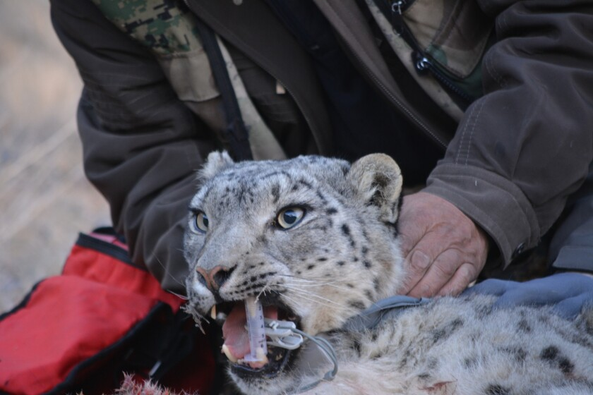 A snow leopard in Mongolia