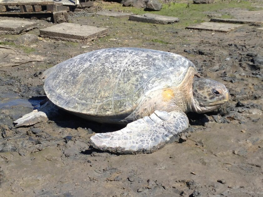 A green sea turtle captured in previous years. The animal is marked with a GPS satellite transmitter, used to track its movements in the bay. Photo courtesy of Jeff Seminoff.
