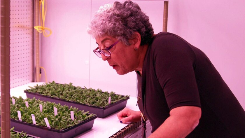 Joanne Chory, a Salk Institute plant researcher, looks at plants being grown in a climate-controlled