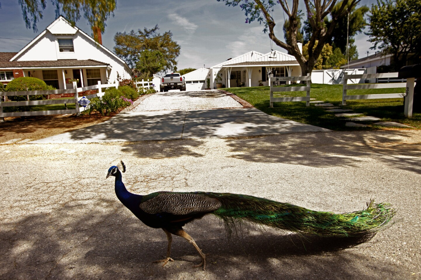 Indian blue peacocks were imported to the Palos Verdes Peninsula a century ago.