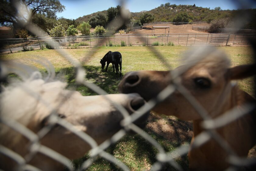 Miniature horses nuzzle each other on the Blue Apple Ranch.