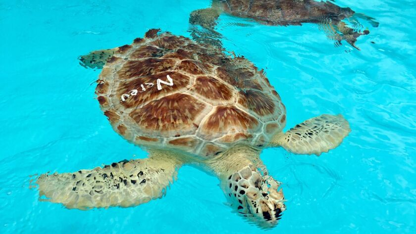 ONE TIME USE - The team at the Turtle Hospital in Marathon, Fla. weathered the storm, then started t