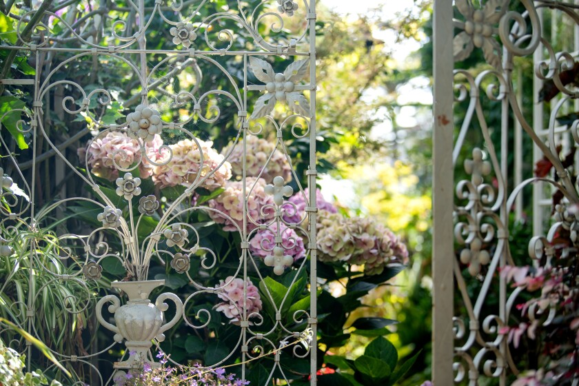 Hydrangeas in Julie Newmar's garden