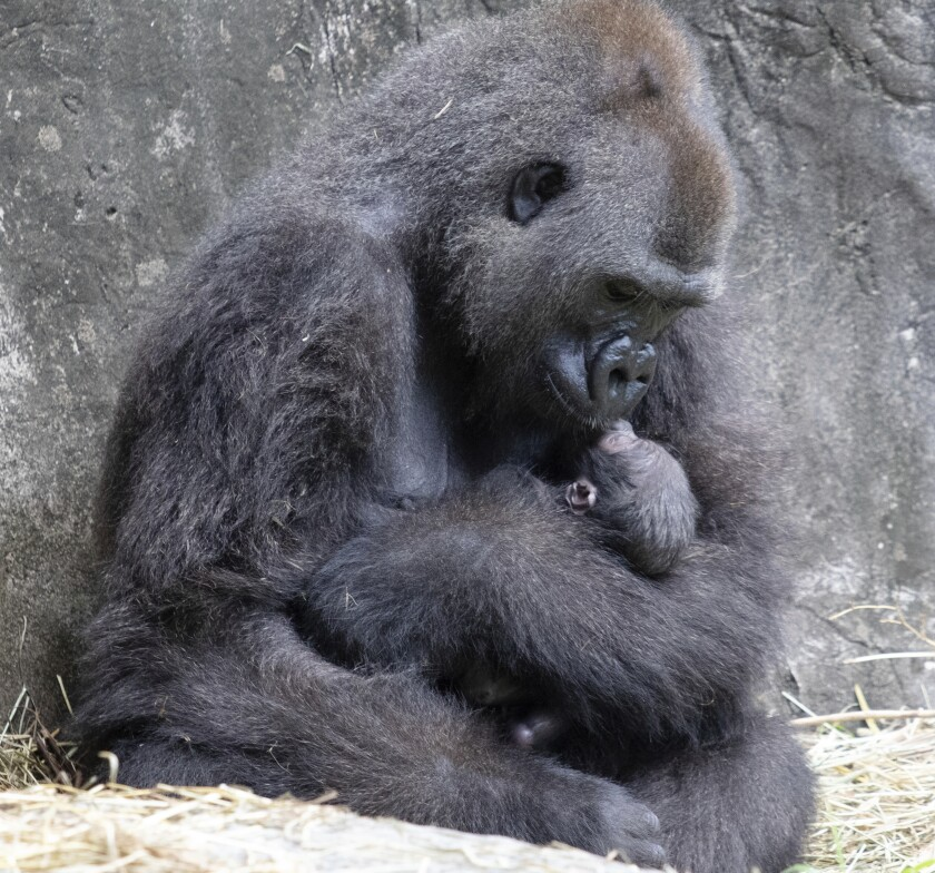 In this photo provided by the Audubon Nature Institute, Tumani, a critically endangered western lowland gorilla holds her newborn at an enclosure at the Audubon Zoo, following its birth on Friday, Sept. 4, 2020, in New Orleans. It's Audubon's first gorilla birth in nearly 25 years and the first offspring for the 13-year-old gorilla. (Jonathan Vogel/Audubon Nature Institute via AP)