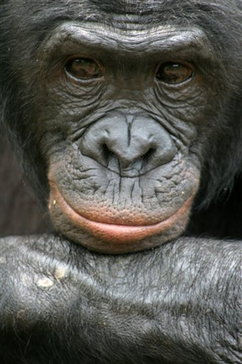 Behold the bonobo, our ape cousin that's kinder and gentler than the chimp or, well, us.