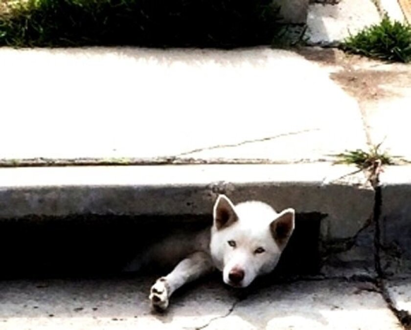 This Siberian husky named Bella was found wedged in a storm drain on Woodrow Avenue in Encanto Thursday and safely rescued.