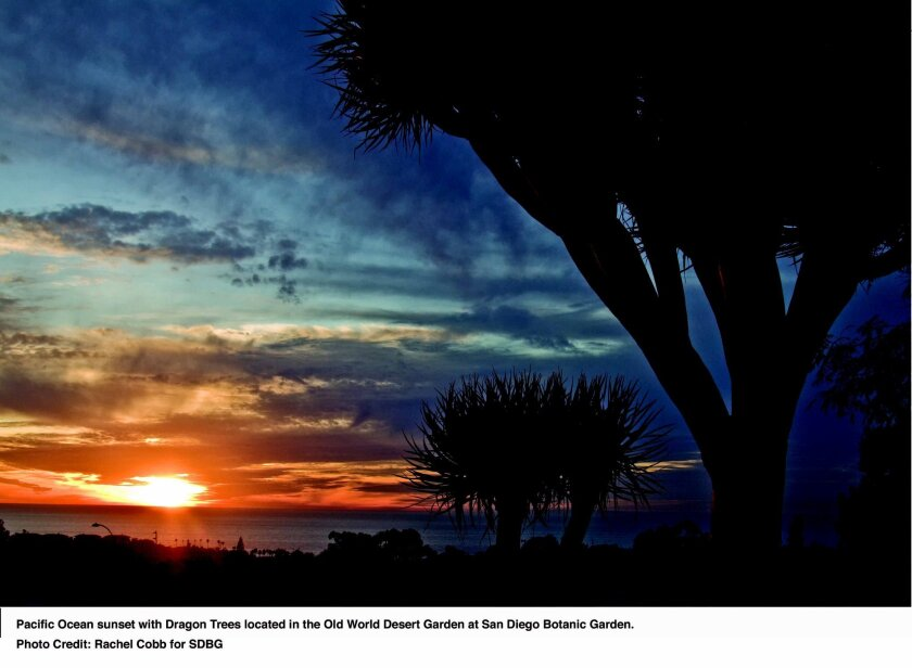 Pacific Ocean sunset with Dragon Trees located in the Old World Desert Garden at San Diego Botanic Garden. Photo Credit: Rachel Cobb