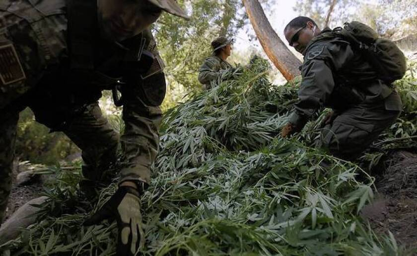 Roots of pot cultivation in national forests are hard to trace
