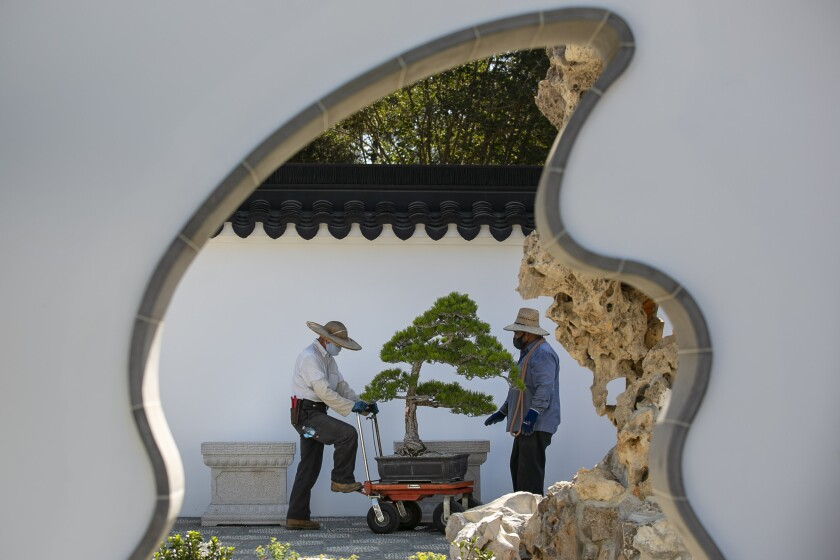 Penjing artist Che Zhao Sheng places a specimen at the Chinese Garden of the Huntington Botanical Gardens.