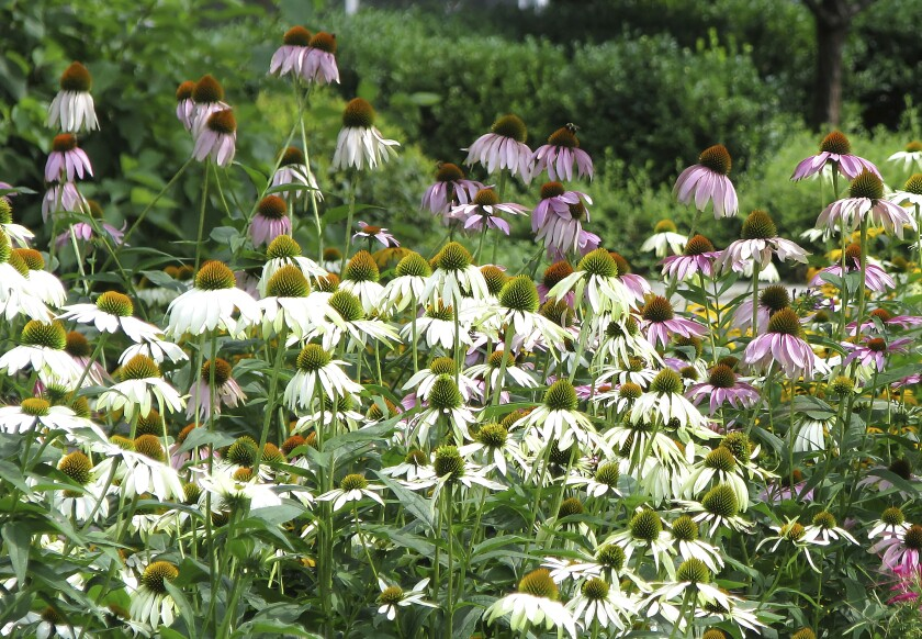This undated photo shows echinacea plants in New Paltz, N.Y. Echinacea is one of many flowers that grows well even in dry summers. (Lee Reich via AP)