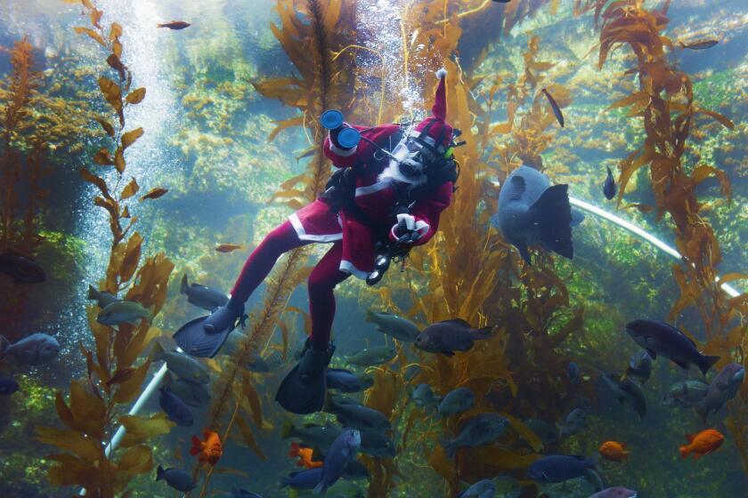 Celebrate the Holiday SEAson: Guests visiting Birch Aquarium at Scripps Institution of Oceanography are treated to special appearances by Scuba Santa for the aquarium's annual celebration, Seas 'n' Greetings, which runs through Dec. 31.